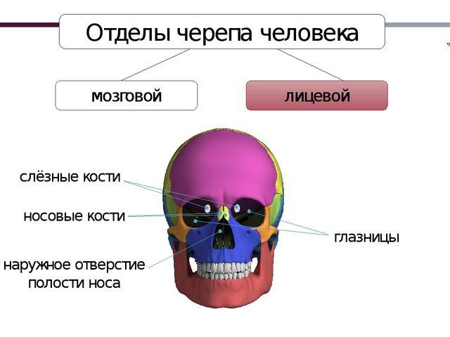 лицевой Отделы черепа человека мозговой носовые кости слёзные кости глазницы...