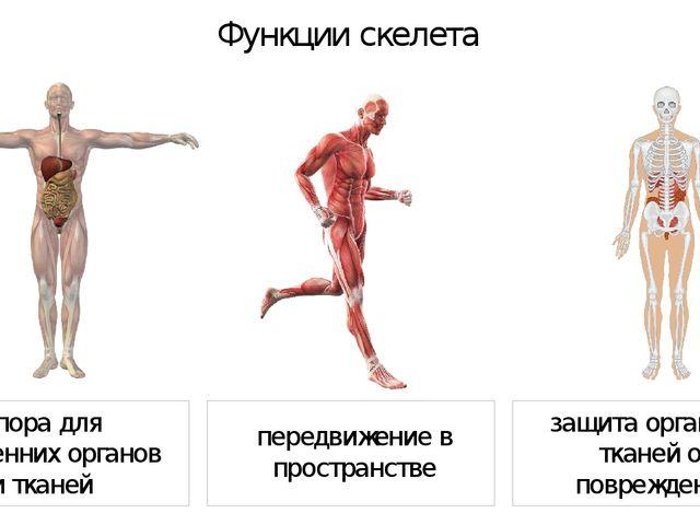 Функции скелета передвижение в пространстве опора для внутренних органов и т...