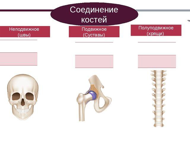 Соединение костей Неподвижное (швы) Подвижное (Суставы) Полуподвижное (хрящи)