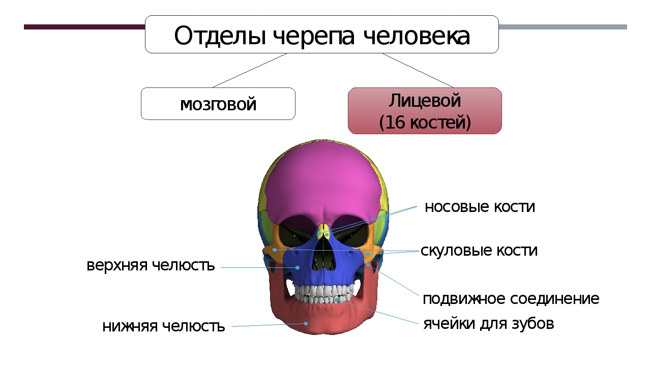Лицевой (16 костей) Отделы черепа человека мозговой нижняя челюсть верхняя че...