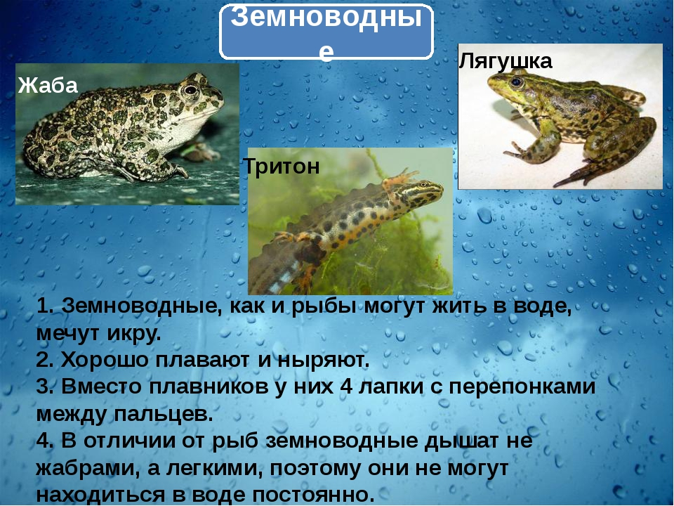 Земноводные 1. Земноводные, как и рыбы могут жить в воде, мечут икру. 2. Хоро...