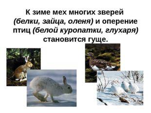 К зиме мех многих зверей (белки, зайца, оленя) и оперение птиц (белой куропат