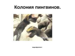 Колония пингвинов. видеофрагмент