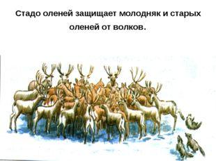 Стадо оленей защищает молодняк и старых оленей от волков.