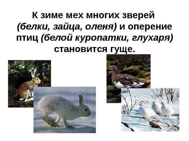 К зиме мех многих зверей (белки, зайца, оленя) и оперение птиц (белой куропат...