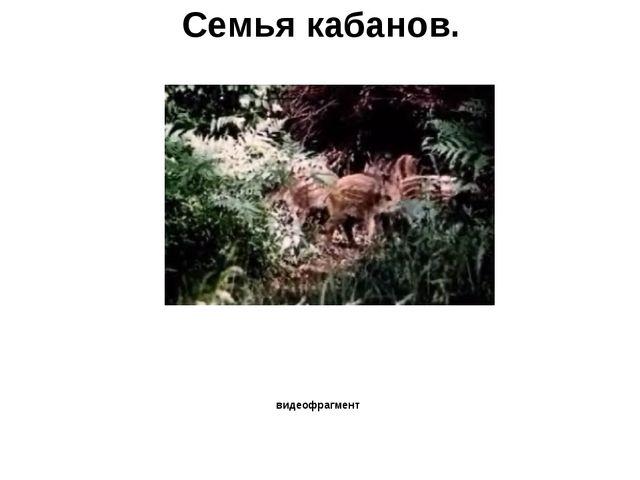 Семья кабанов. видеофрагмент