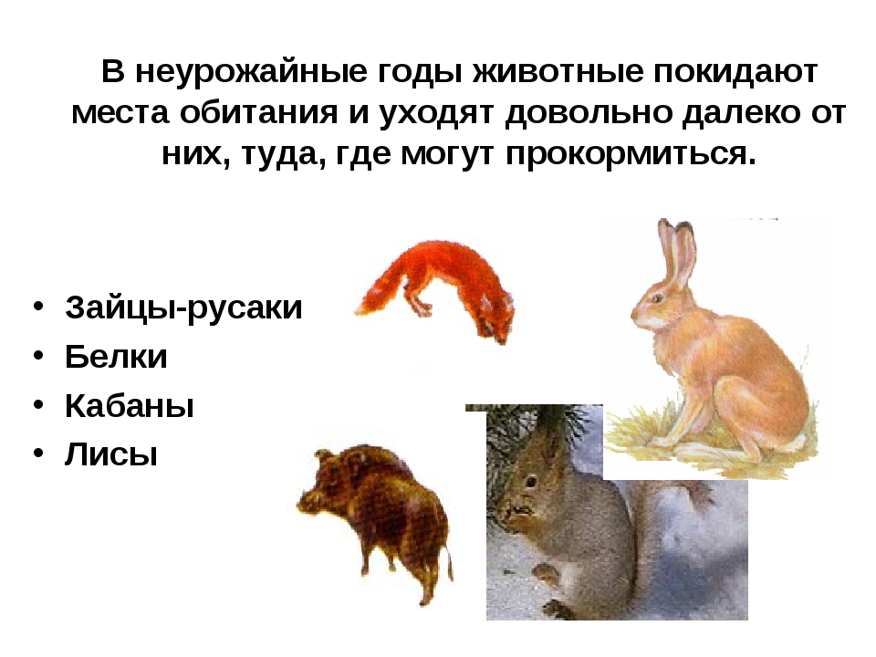 В неурожайные годы животные покидают места обитания и уходят довольно далеко...