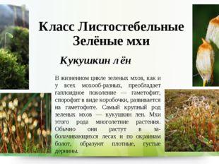 Класс Листостебельные Зелёные мхи Кукушкин лён В жизненном цикле зеленых мхов