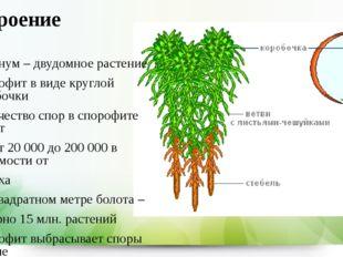 Строение Сфагнум – двудомное растение Спорофит в виде круглой коробочки Колич