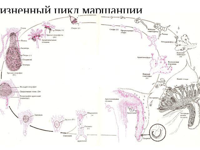Жизненный цикл маршанции