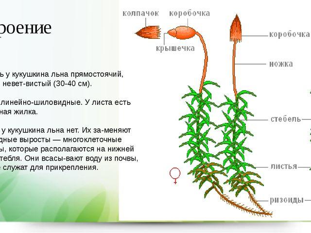 Строение Стебель у кукушкина льна прямостоячий, обычно неветвистый (30-40 см...