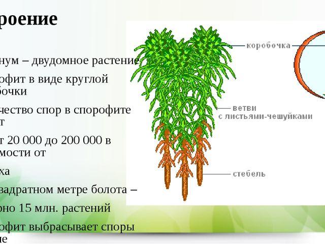 Строение Сфагнум – двудомное растение Спорофит в виде круглой коробочки Колич...