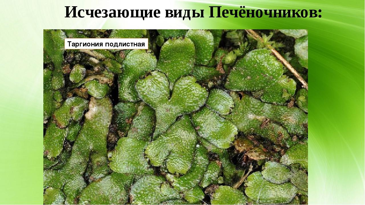Исчезающие виды Печёночников: Таргиония подлистная