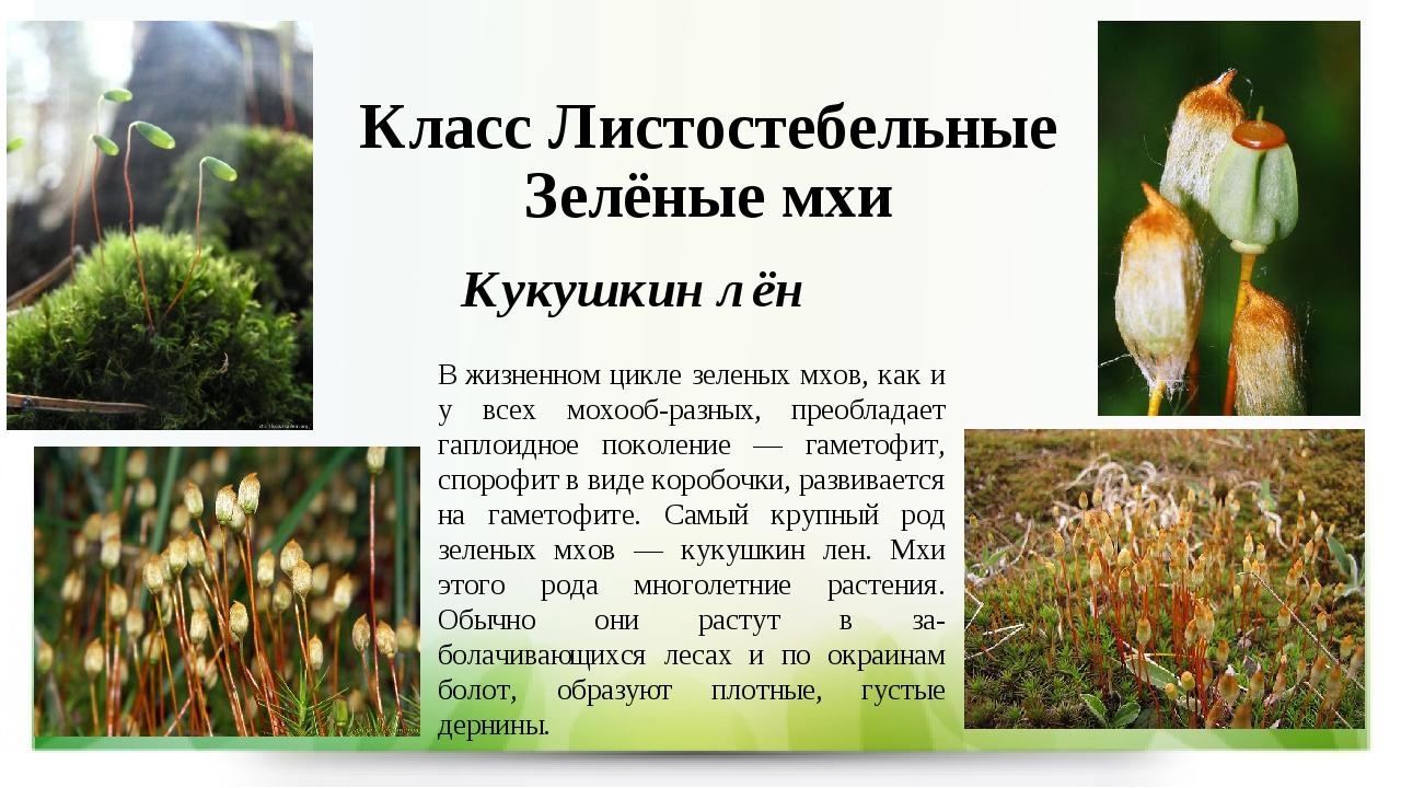 Класс Листостебельные Зелёные мхи Кукушкин лён В жизненном цикле зеленых мхов...