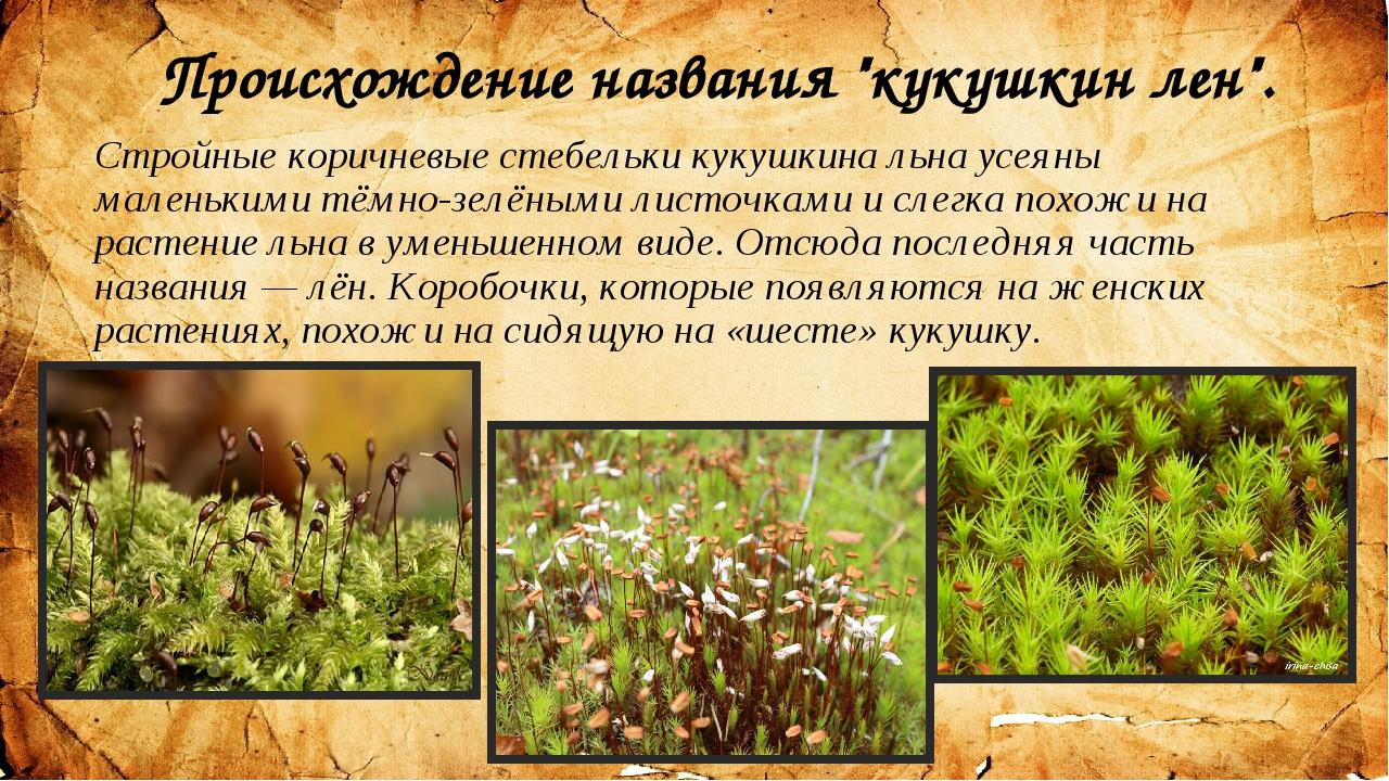 """Происхождение названия """"кукушкин лен"""". Стройные коричневые стебельки кукушкин..."""