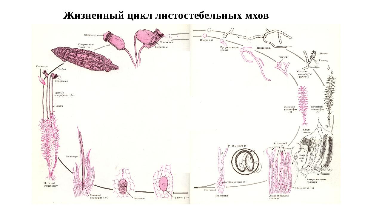 Жизненный цикл листостебельных мхов
