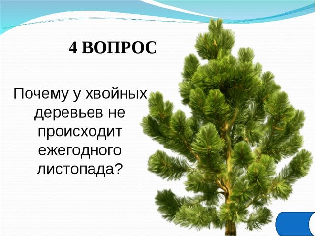 4 ВОПРОС Почему у хвойных деревьев не происходит ежегодного листопада?