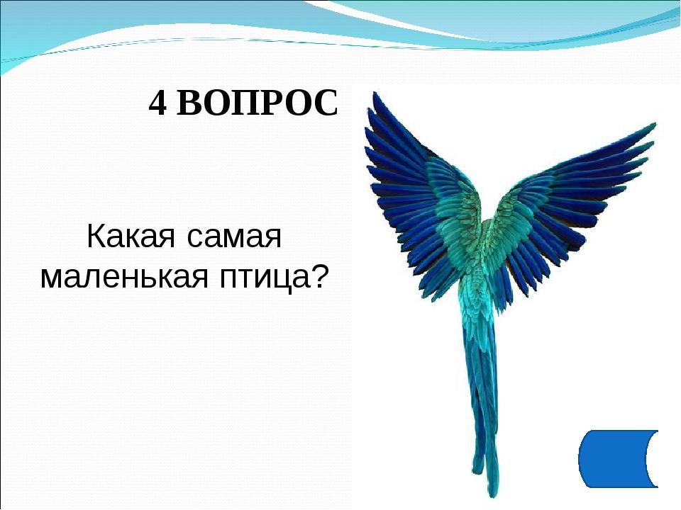 4 ВОПРОС Какая самая маленькая птица?