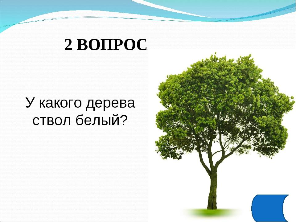 2 ВОПРОС У какого дерева ствол белый?