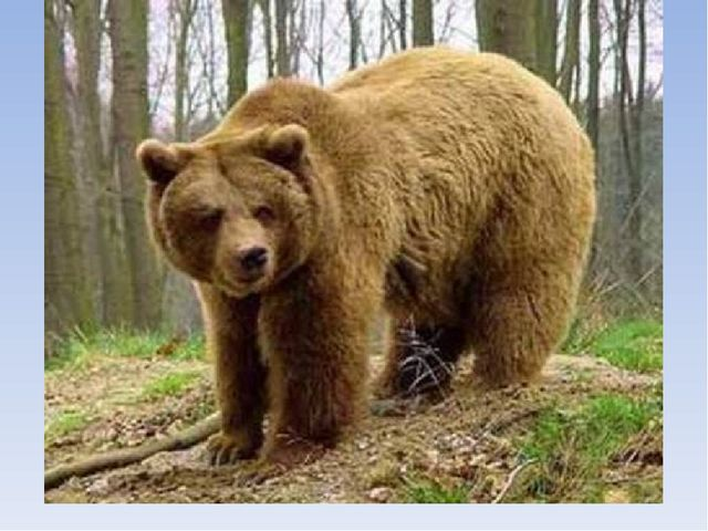 Медведь - уменьшительное Мишка. Крупное хищное млекопитающее с длинной шерст...