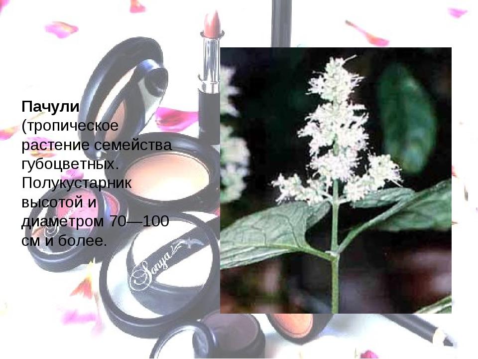 Пачули (тропическое растение семейства губоцветных. Полукустарник высотой и д...