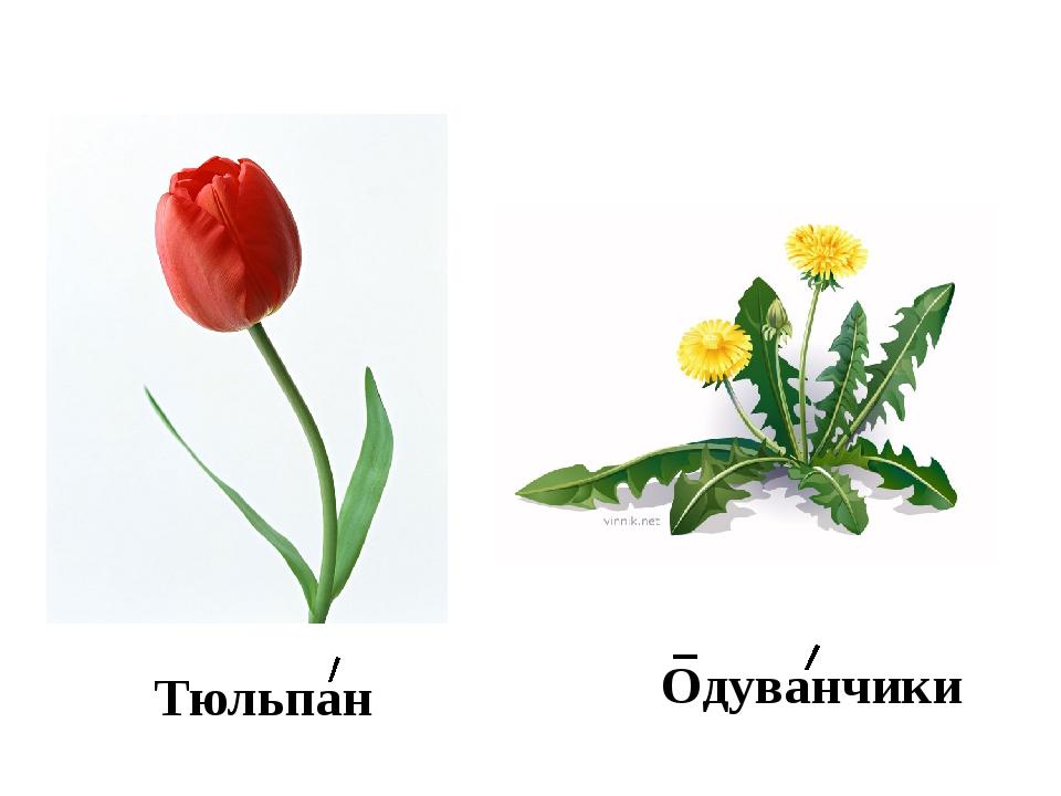 Тюльпан Одуванчики