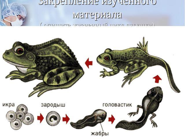 Закрепление изученного материала ( опишите жизненный цикл лягушки)