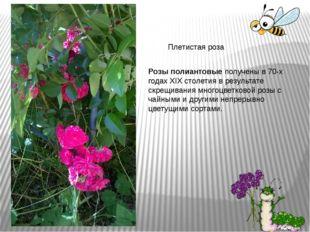 Плетистая роза Розы полиантовыеполучены в 70-х годах XIX столетия в результа