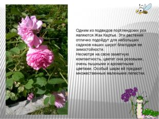 Одним из подвидов портлендских роз являются Жак Картье. Эти растения отлично