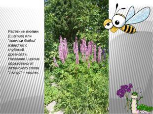"""Растениелюпин (Lupinus) или """"волчьи бобы"""" известно с глубокой древности. На"""