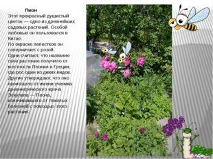 Пион Этот прекрасный душистый цветок — одно из древнейших садовых растений.