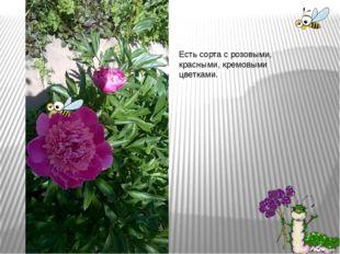 Есть сорта с розовыми, красными, кремовыми цветками.