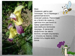 Ирис Название цветку дал Гиппократ, 'iris' в переводе с древнегреческого озна