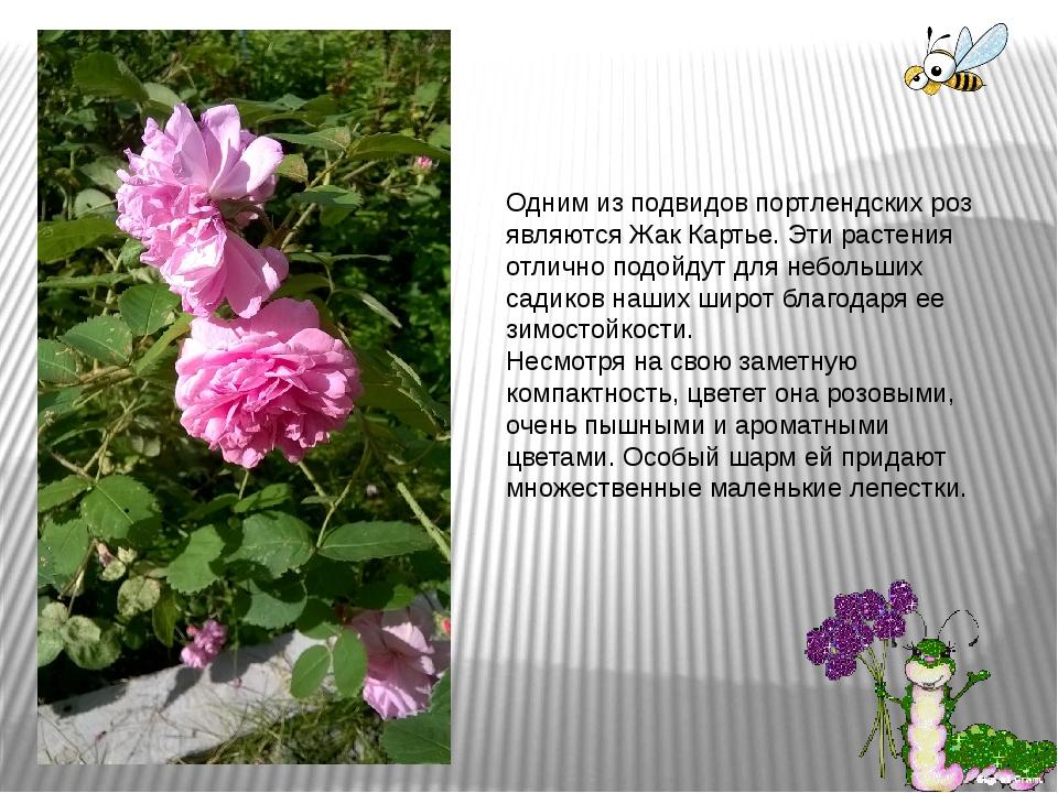 Одним из подвидов портлендских роз являются Жак Картье. Эти растения отлично...