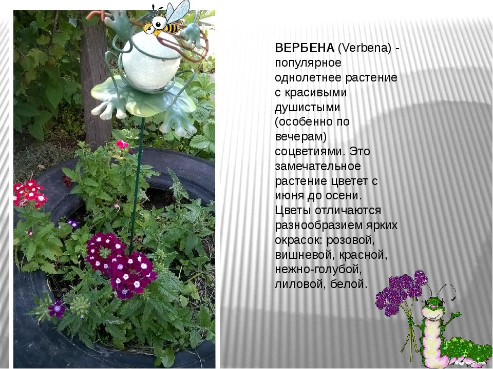 ВЕРБЕНА(Verbеna) - популярное однолетнее растение с красивыми душистыми (осо...
