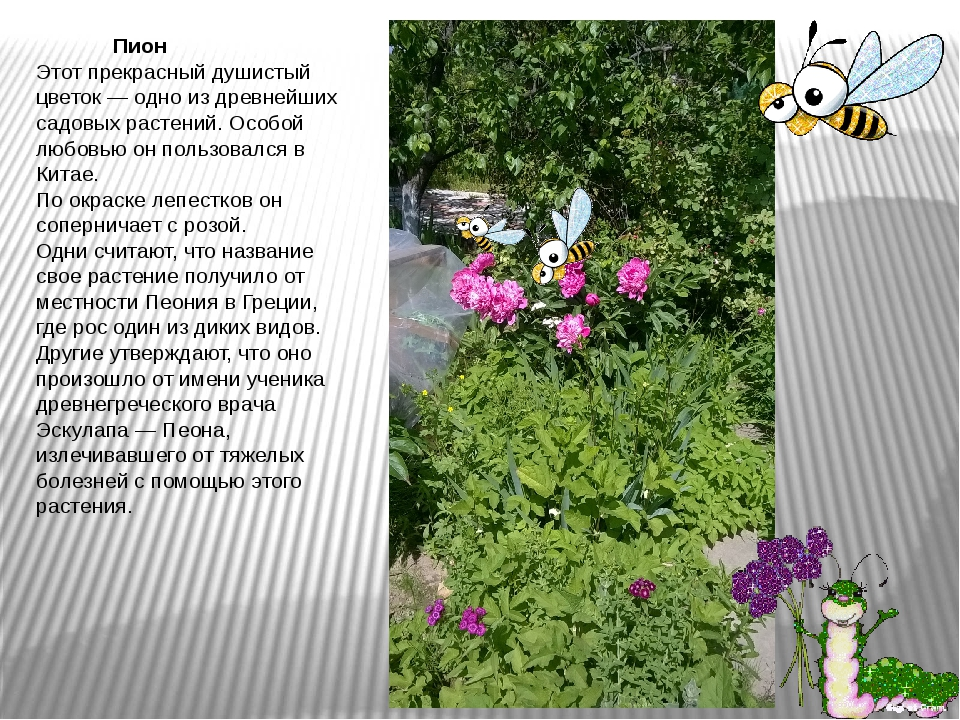Пион Этот прекрасный душистый цветок — одно из древнейших садовых растений....