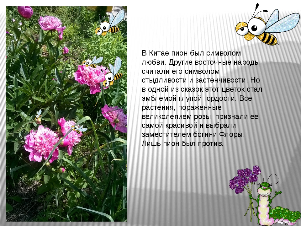 В Китае пион был символом любви. Другие восточные народы считали его символом...