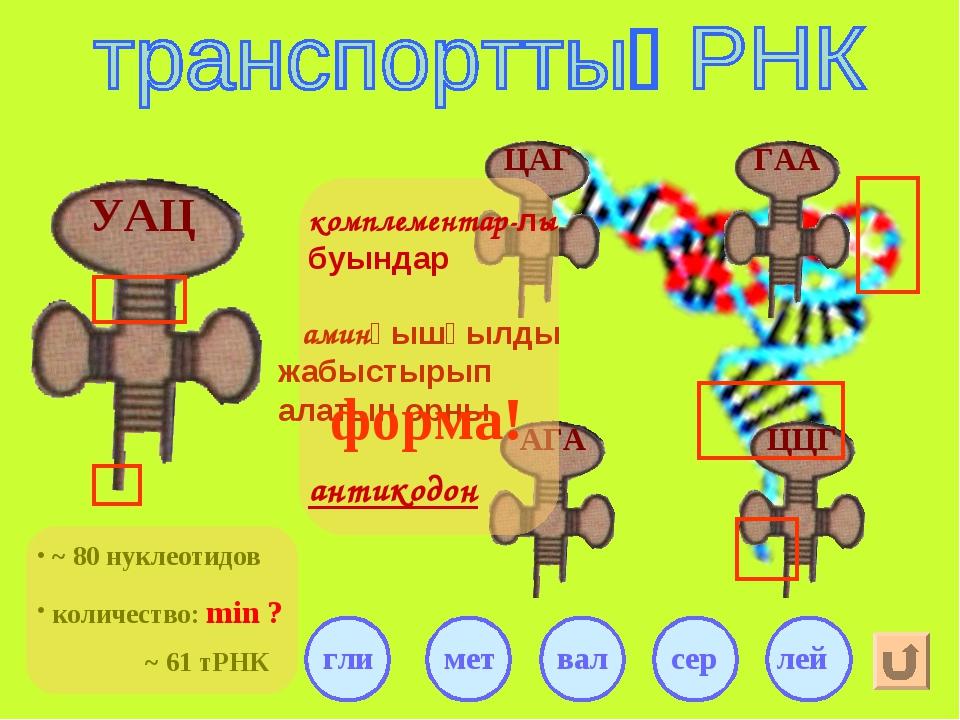 УАЦ аминқышқылды жабыстырып алатын орны ~ 61 тРНК антикодон комплементар-лы б...
