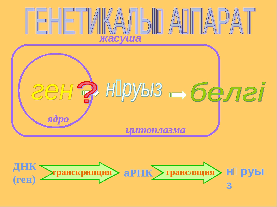 ядро цитоплазма ДНК (ген) аРНК нәруыз транскрипция трансляция жасуша
