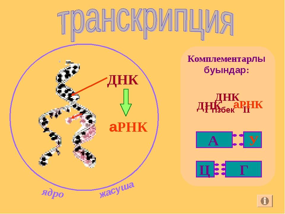 ДНК аРНК Комплементарлы буындар:
