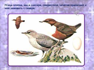 Птица оляпка, как и снегири, свиристели, чечётки прилетают к нам зимовать с с