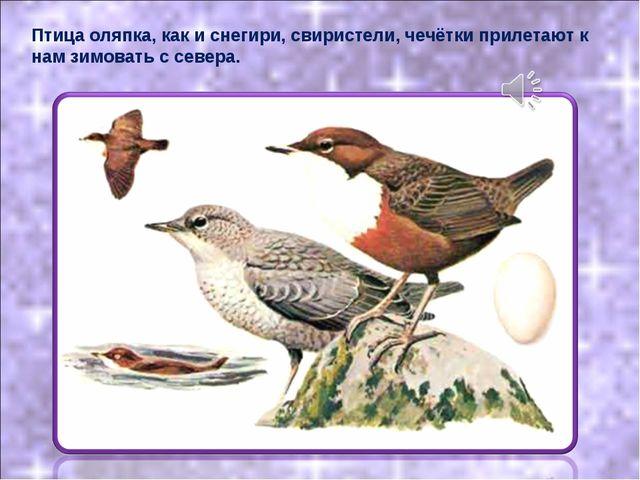 Птица оляпка, как и снегири, свиристели, чечётки прилетают к нам зимовать с с...