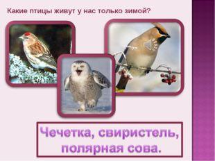 Какие птицы живут у нас только зимой?
