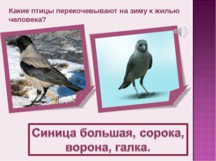 Какие птицы перекочевывают на зиму к жилью человека?