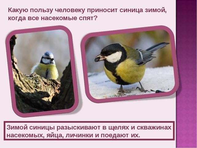 Какую пользу человеку приносит синица зимой, когда все насекомые спят? Зимой...