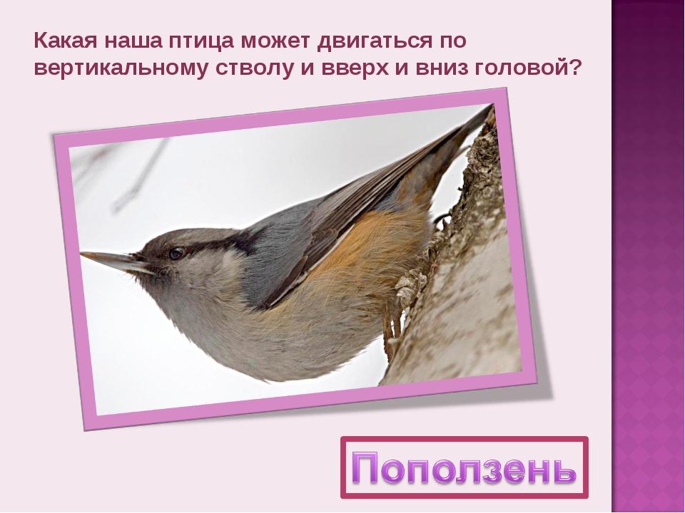 Какая наша птица может двигаться по вертикальному стволу и вверх и вниз голов...