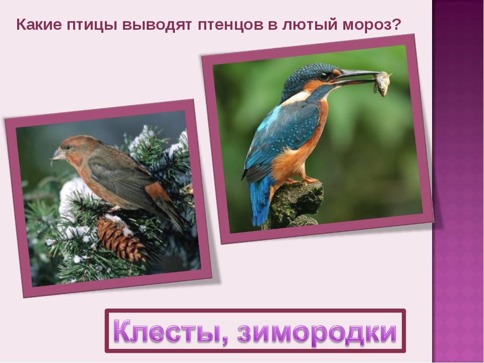 Какие птицы выводят птенцов в лютый мороз?