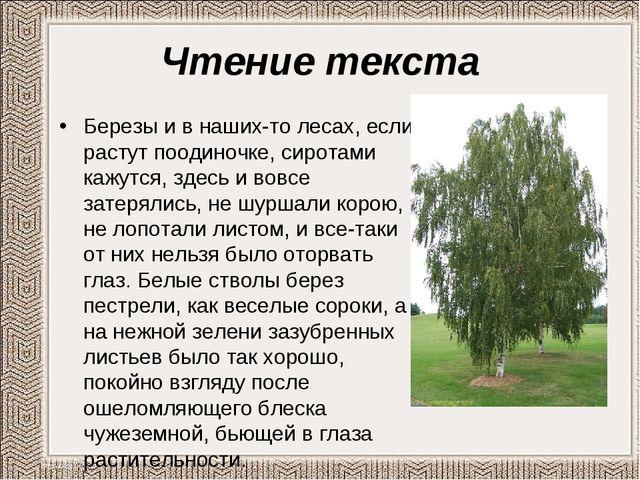 Чтение текста Березы и в наших-то лесах, если растут поодиночке, сиротами каж...