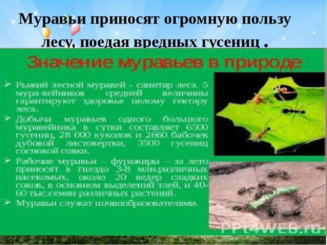 Муравьи приносят огромную пользу лесу, поедая вредных гусениц .