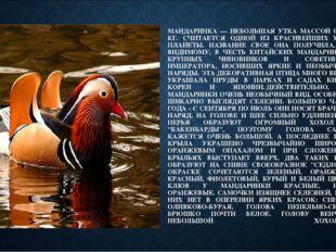 МАНДАРИНКА — НЕБОЛЬШАЯ УТКА МАССОЙ 0,4-0,7 КГ. СЧИТАЕТСЯ ОДНОЙ ИЗ КРАСИВЕЙШИХ